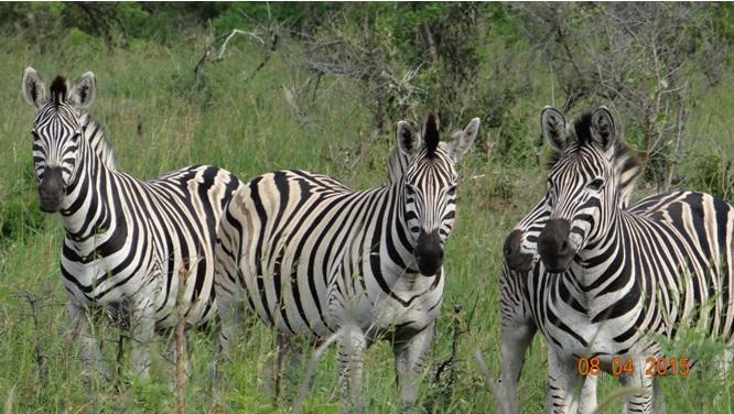 3 day safari from Durban; Zebra