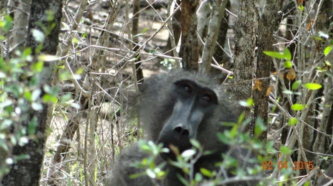 Big 5 Safari from Durban - Baboon