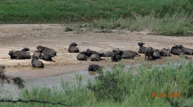Big 5 Safari from Durban - Buffalo in Umfolozi river