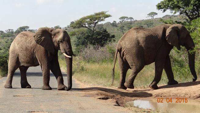 Big 5 Safari from Durban - Elephants