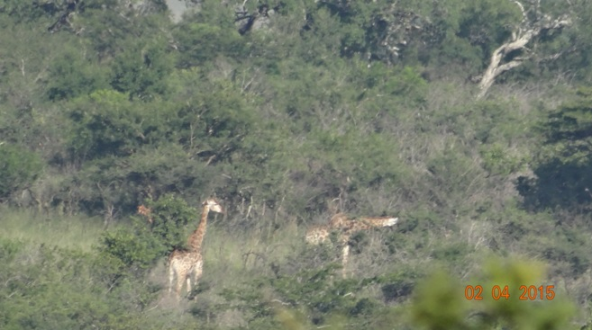 Big 5 Safari from Durban - Giraffe