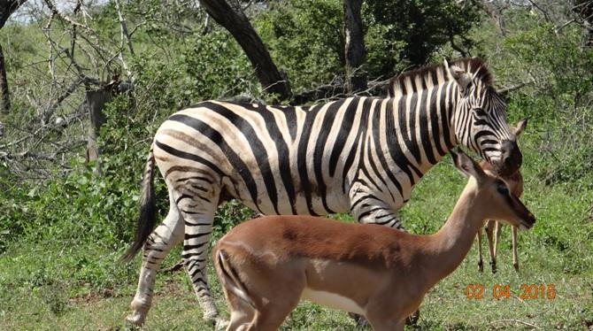 Big 5 Safari from Durban - Zebra and Impala