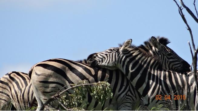 Big 5 Safari from Durban - Zebra