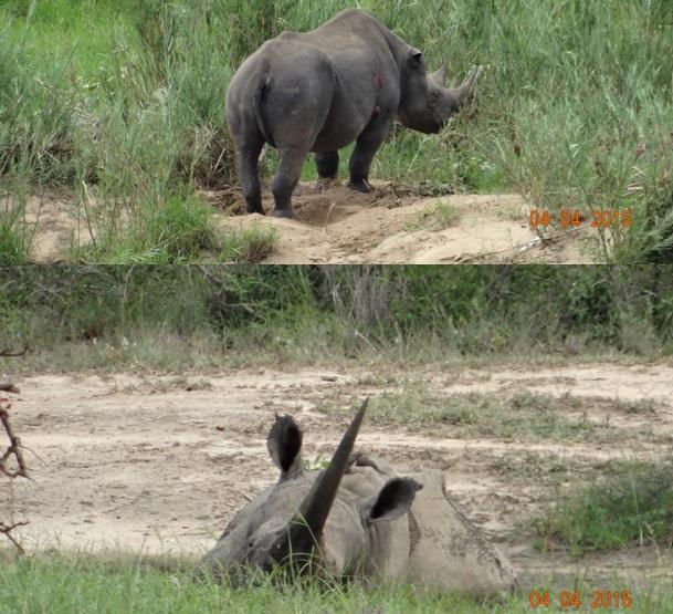 Durban day safari, Black Rhino and White Rhino in mud wallow