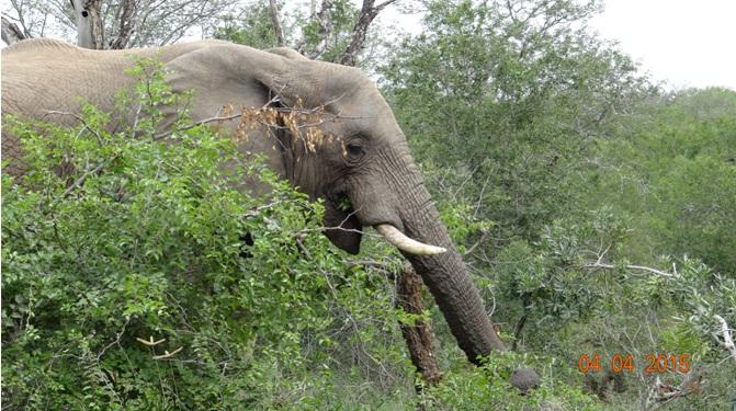Durban day safari, Elephant