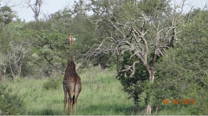 Durban day safari, Giraffe