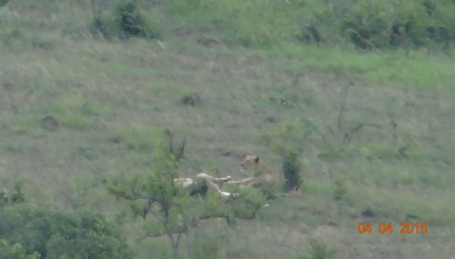 Durban day safari, Lions a million miles away with cubs