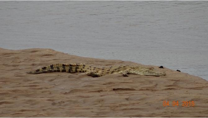 Durban day safari, Nile Crocodile
