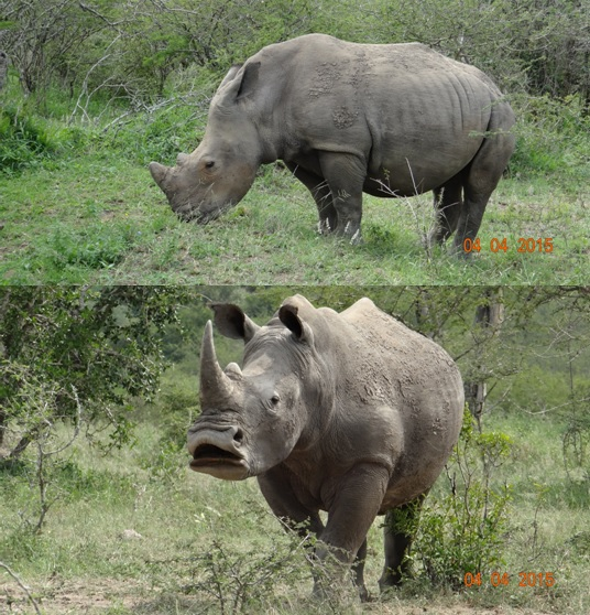 Durban day safari, Rhino standing and Rhino yawning