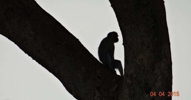 Durban day safari, Vervet monkey in Marula tree