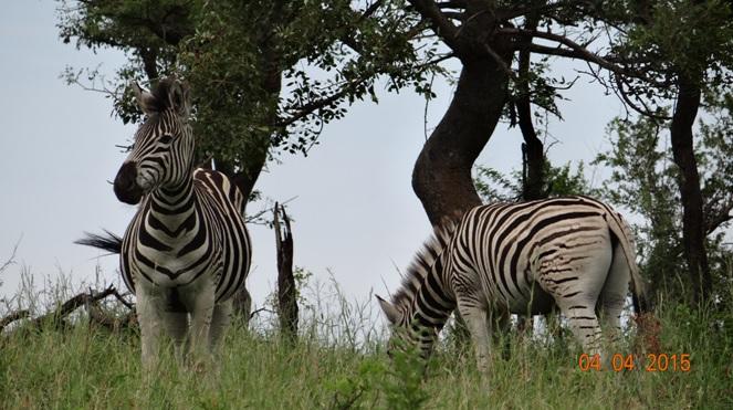 Durban day safari, Zebra