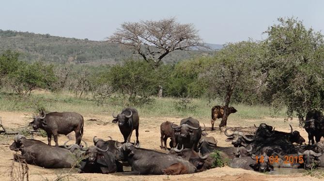 Durban day trip to Hluhluwe; Herd of Buffalo