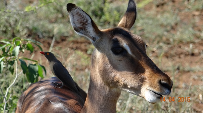Durban day trip to Hluhluwe; Impala with Red billed oxpecker