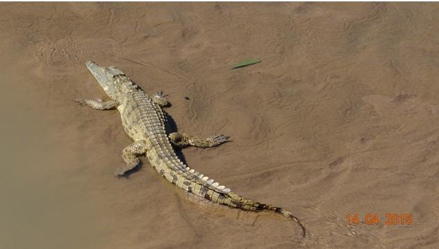 Durban day trip to Hluhluwe; Nile Crocodile