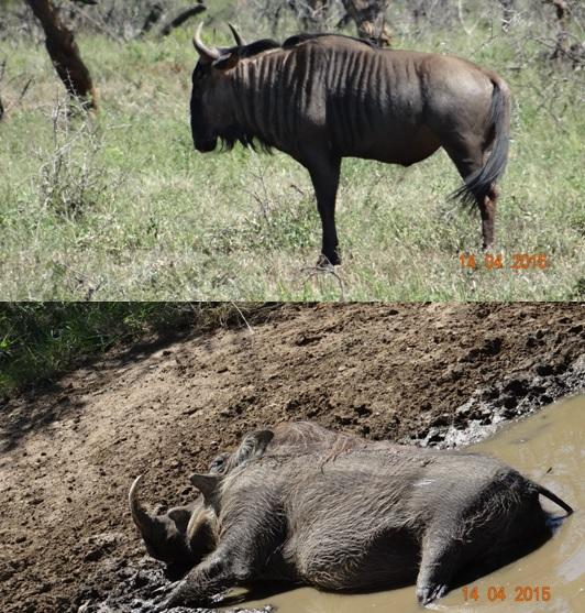 Durban day trip to Hluhluwe; Wildebeest and Warthog