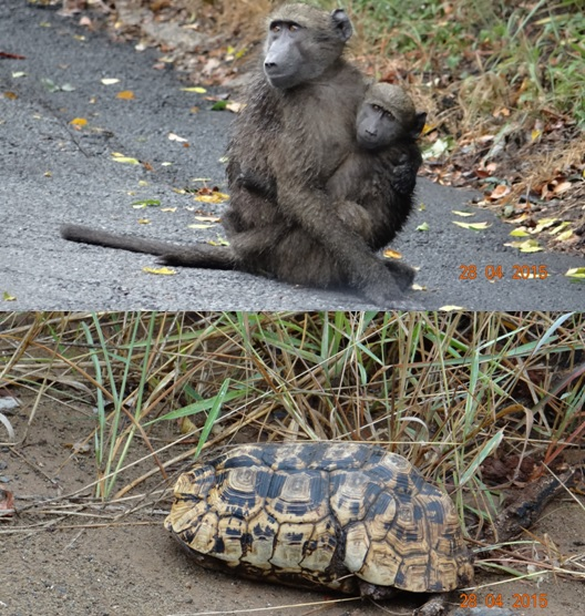 Durban overnight safari; Baboons and Leopard Tortoise