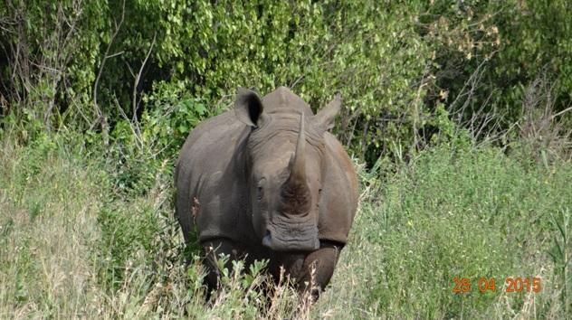 Durban overnight safari; Wide Rhino