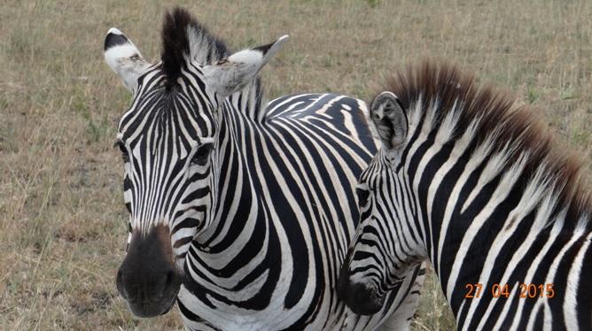 Durban overnight safari; Zebra