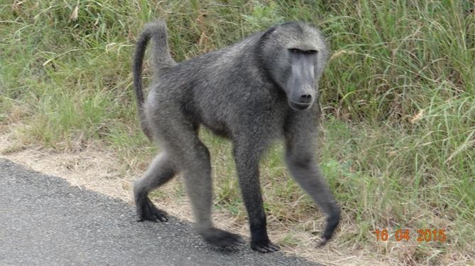 Durban safari in KwaZulu Natal; Baboon