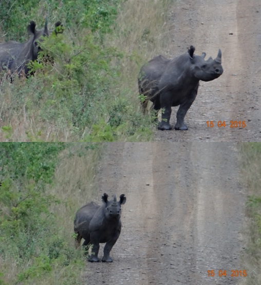 Durban safari in KwaZulu Natal; Black Rhino mother and calf