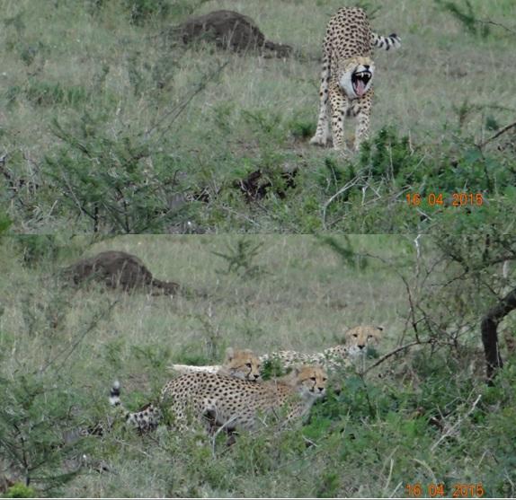 Durban safari in KwaZulu Natal; Cheetah mother and cubs