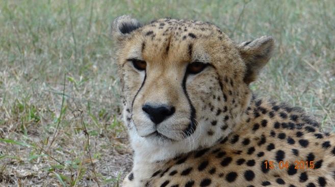 Durban safari in KwaZulu Natal; Cheetah