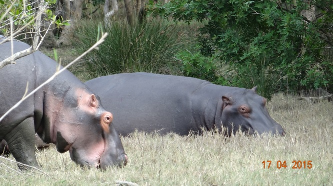 Durban safari in KwaZulu Natal; Hippos outside the estuary