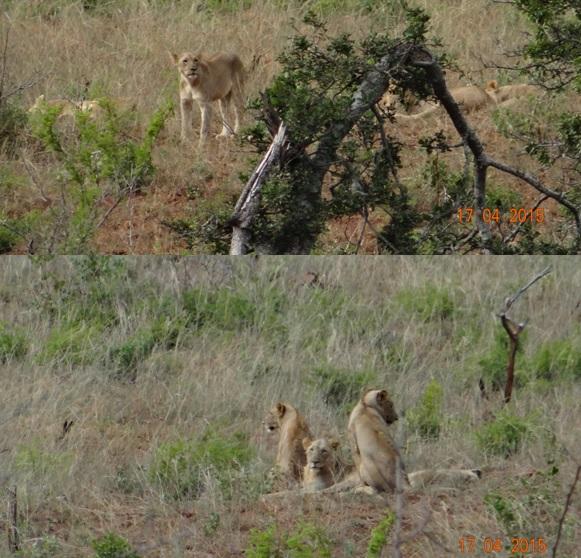 Durban safari in KwaZulu Natal; Lions