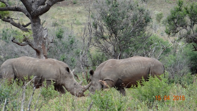 Durban safari in KwaZulu Natal; Rhino fight