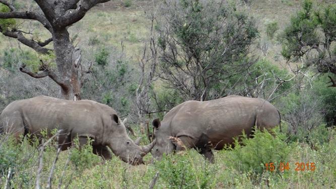 Durban safari in KwaZulu Natal; Rhino fight