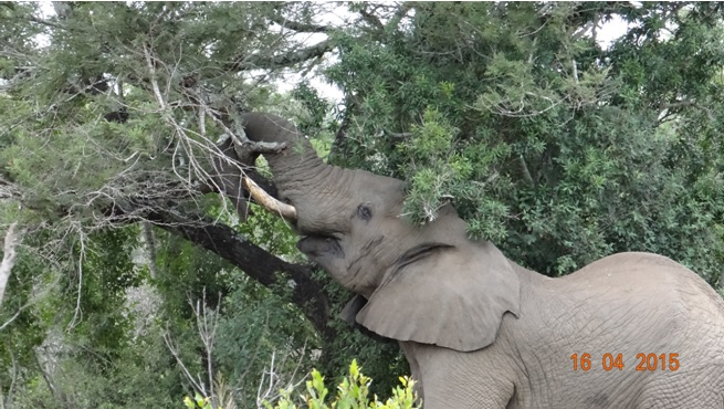 Durban safari in KwaZulu Natal; Tree meets Elephant