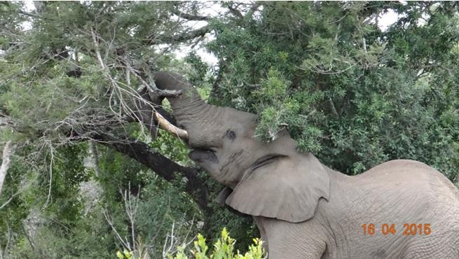 Durban safari in KwaZulu Natal; Tree meets Elephant