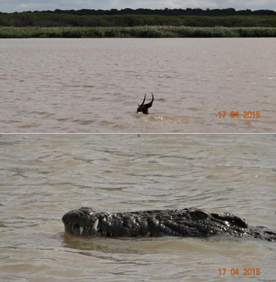 Durban safari in KwaZulu Natal; Waterbuck swims across St Lucia estuary with Crocodiles near by
