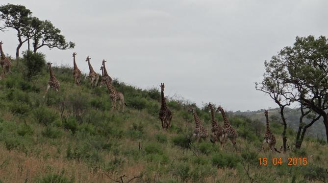 Durban safari in KwaZulu Natal; Wild dogs chasing Giraffe
