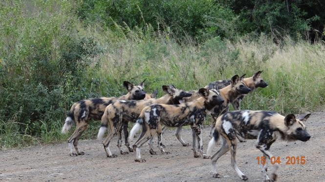 Durban safari in KwaZulu Natal; Wild dogs
