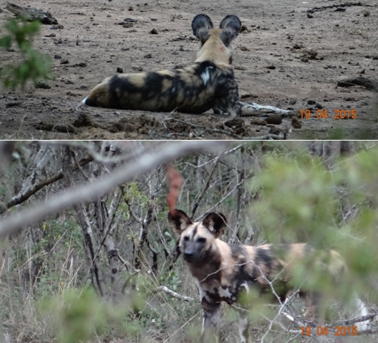 Safari from Durban in South Africa; African Wild dogs