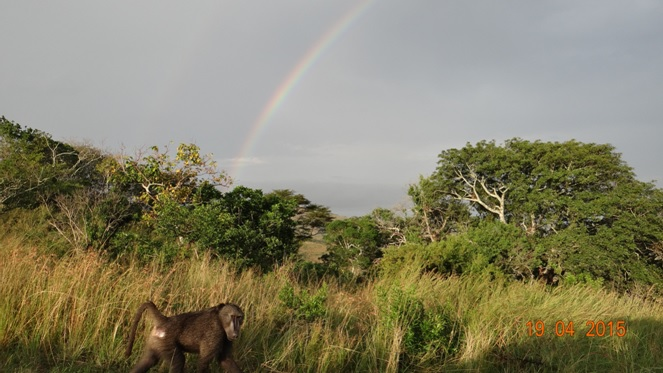 Safari from Durban in South Africa; Baboon at end of Rainbow