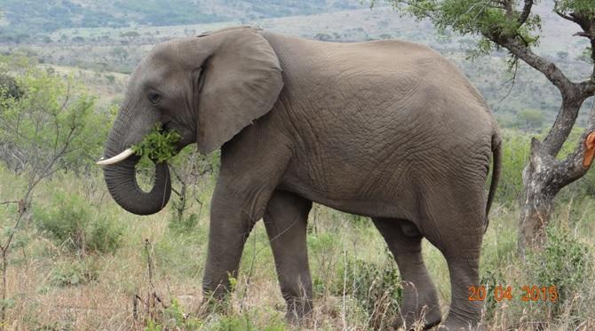 Safari from Durban in South Africa; Elephant feeding