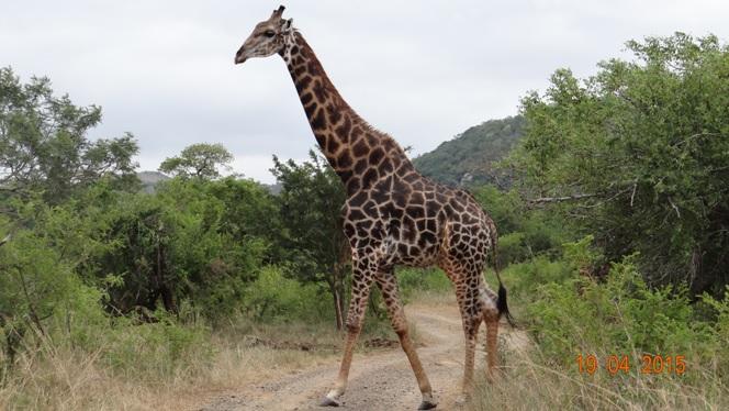 Safari from Durban in South Africa; Giraffe crossing road