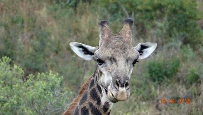 Safari from Durban in South Africa; Giraffe