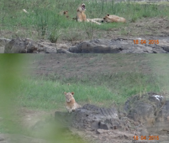 Safari from Durban in South Africa; Lions in the Hluhluwe River bed