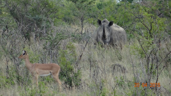 Safari from Durban in South Africa; Rhino and Impala