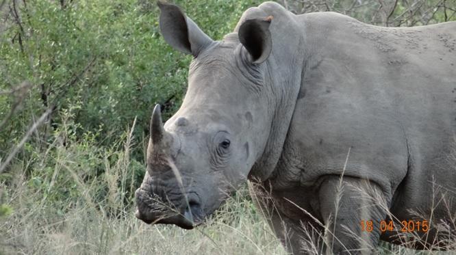 Safari from Durban in South Africa; Rhino calf