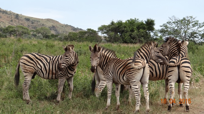 Safari from Durban in South Africa; Zebra near the road