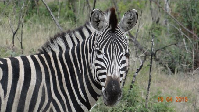 Safari from Durban in South Africa; Zebra