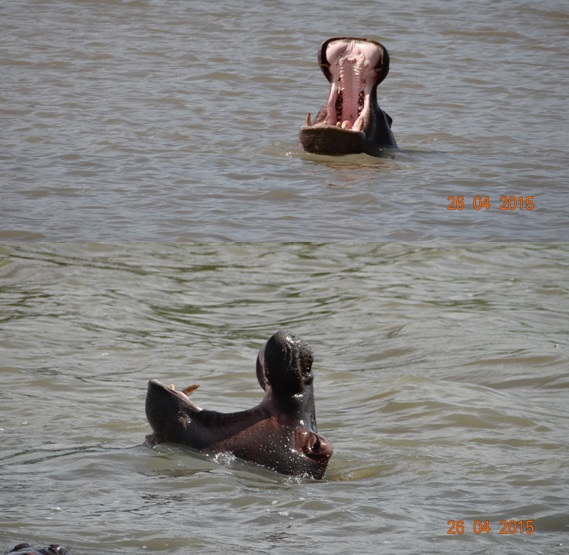 St Lucia day tour; Hippos Yawning