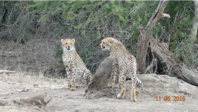 Durban day safari tour; Cheetah cubs
