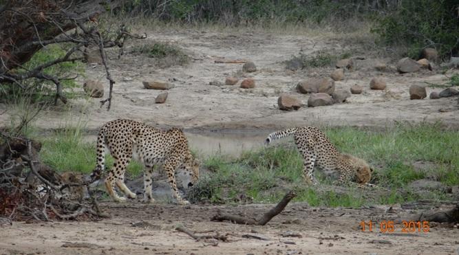 Durban day safari tour; Cheetah mother and cubs