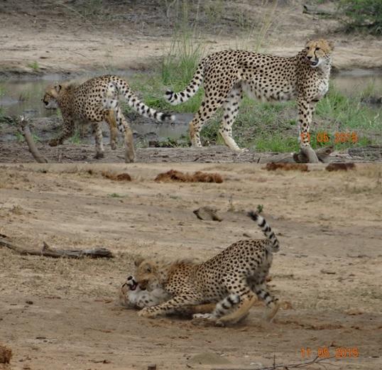 Durban day safari tour; Cheetah playing