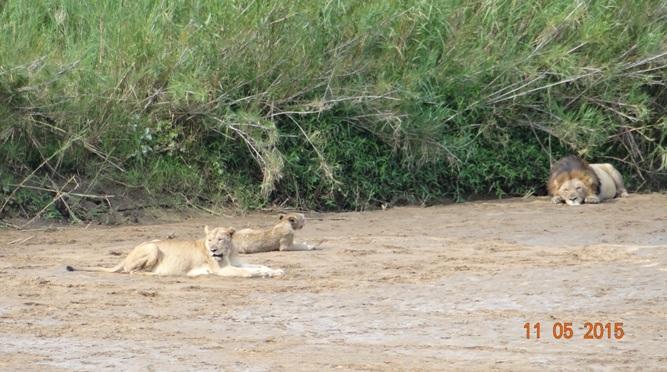 Durban day safari tour; Lions, Male, female and cub